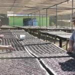 Meio Ambiente inicia cultivo de 300 mil