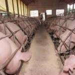 Quinto maior produtor de suínos