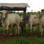 Furto de gado é investigado pela polícia de Alta Floresta