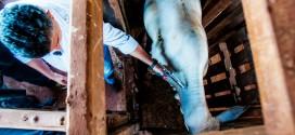 Vacinação contra febre aftosa deve imunizar mais de 2 milhões de bovinos na regional de Alta Floresta