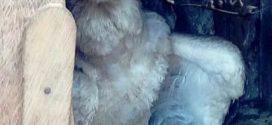 Filhote de gavião-real e resgatado por populares em Novo Mundo