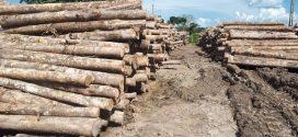 Empresa especializada em exportação de Teca abre novo empreendimento em Alta Floresta