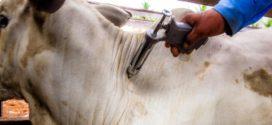 Campanha de vacinação contra febre aftosa é prorrogada em MT; prazo vai até 15 de junho
