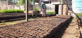 Programa Pró-Café distribuirá cerca de 70 mil mudas para produtores de Alta Floresta