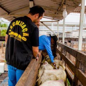 FEBRE AFTOSA:  99,96% do rebanho de Alta Floresta foi imunizado durante a 2ª fase de vacinação