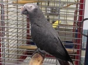 Papagaio 'boca suja'