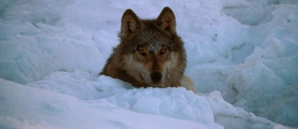 Sem noção! Fazendeiro adota filhote de lobo