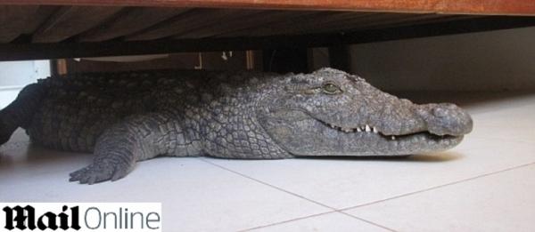 crocodilo embaixo da cama